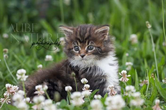 Chaton maine coon dans l'herbe (France)