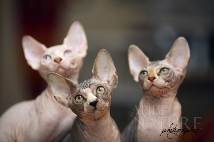 Groupe de chatons sphynx canadiens attentifs (France)
